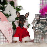 Chihuahua, 4 months old, with Christmas tree and gifts in front of white background