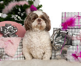 Shih Tzu, 3 years old, with Christmas tree and gifts in front of white background