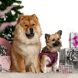 Chow Chow, 1 year old, with Mixed-breed puppy, 6 months old, with Christmas tree and gifts in front of white background