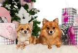 Chihuahua, 3 years old, with Pomeranian, 2 years old, with Christmas tree and gifts in front of white background