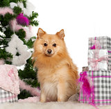 Pomeranian, 18 months old, with Christmas tree and gifts in front of white background