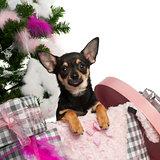Chihuahua puppy, 5 months old, getting out a box with Christmas tree and gifts in front of white background