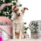 Miniature Australian Shepherd puppy, 1 year old, with Christmas tree and gifts in front of white background