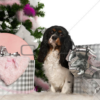 Cavalier King Charles Spaniel, 18 months old, with Christmas tree and gifts in front of white background