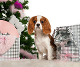Cavalier King Charles Spaniel puppy, 6 months old, with Christmas tree and gifts in front of white background