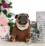 Pug, 6 years old, with Christmas tree and gifts in front of white background