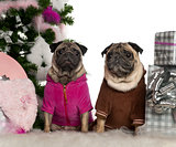 Pugs, 6 years and 3 years old, with Christmas tree and gifts in front of white background