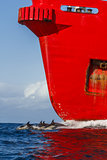 Dolphin and red cargo ship,South africa