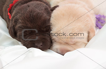 two labrador retriever puppies