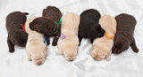 seven labrador retriever puppies