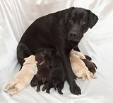 labrador retriever puppies and mom