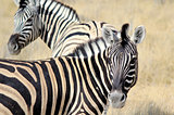 Herd of Burchell´s zebras in Etosha wildpark