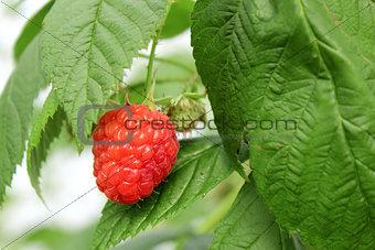 Growing raspberry in hydroponic plantation