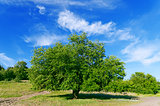 summer landscape of green tree with bright blue sky