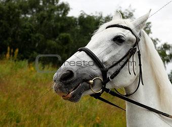 Portrait white horse