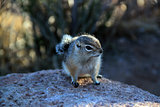 Cute Eastern Chipmunk