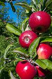 Courtland Apples