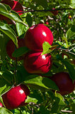Courtland Apples