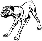 boxer dog black white