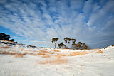 pine trees on snow and blue sky