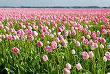 pink tulips in spring, Alkmaar