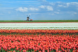 colorful tulips on dutch fields and windmill