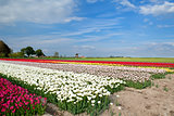 colorful tulips on field and windmill