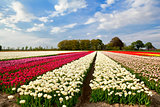 colorful tulip fields and farmhouse in Alkmaar