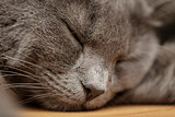 british shorthair cat sleep on wood table