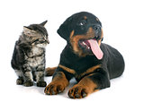 puppy rottweiler and kitten