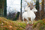 Two goats in Autumn forest