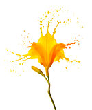 yellow flower splashes