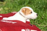Beautiful jack russell terrier puppy lying