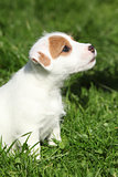 Nice jack russell terrier puppy sitting