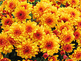 autumnal chrysanthemum background