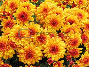 autumnal chrysanthemum background