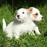 Gorgeous puppies of Jack Russell Terrier