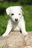 Adorable jack russell terrier puppy on some stone