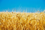 field of a golden wheat before harvesting on a background clear blue sky
