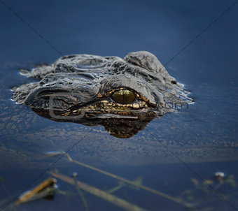 Alligator Head In The Water