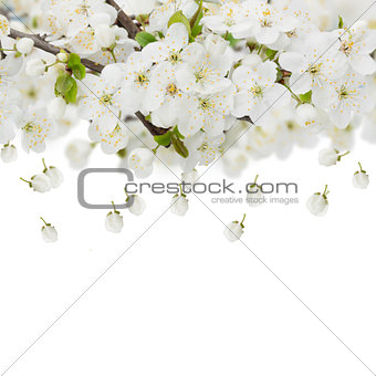 Blossoming Apple  Flowers