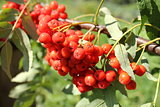 bunch of rowan berries