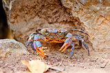large crab on the beach between the rocks