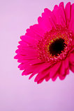 Bright pink gerbera on a purple background