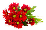 Red spray chrysanthemum