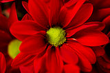 Red spry Chrysanthemum