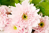 Soft pink spray chrysanthemum
