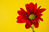 Red chrysanthemum on a yellow background