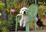 yellow labrador puppy in the garden