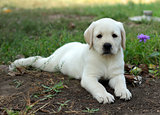 yellow labrador puppy laying in the garden